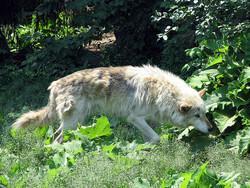 Grey wolf at Milwaukee zoo