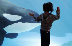 A girl watches a killer whale at SeaWorld in San Diego.