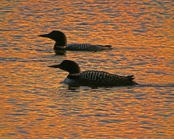 A pair of common loons