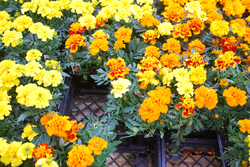 flats of marigolds