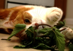 Cat playing with catnip