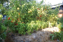 Tomatoes Planted in Straw Bales