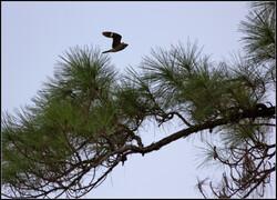 Common nighthawk
