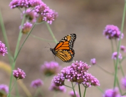 Monarch Butterfly flying amid the flowers at Allen Centennial Gardens