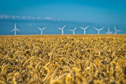 A field of wheat with wind turbines in the distance