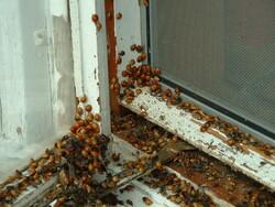 Asian Lady Beetles