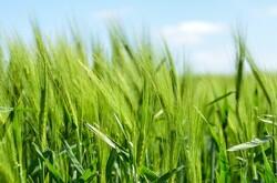 barley growing in field