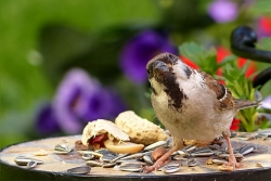 Sparrow at feeder