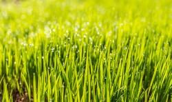close up of turf grass