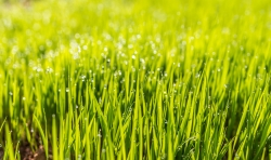 close up of turf grass
