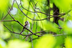 An Acadian flycatcher.