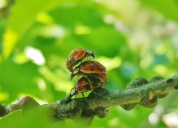 lady beetles on branch