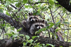 two raccoons in tree