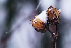 seed head in winter
