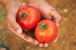 Ripe tomatoes in gardener's hand
