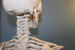 A close-up of a model skeleton's spine and base of skull.