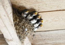 Swallow nest with five hungry babies.