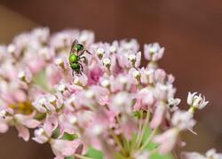 Sweat bee on flower.