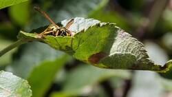 giant hornet on leaf