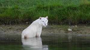 Ginger the white tiger in lake