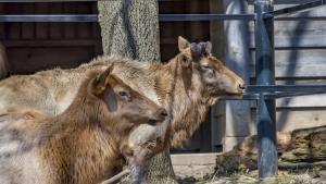 Comanche elk at zoo