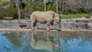 Jozie the rhino in habitat near water