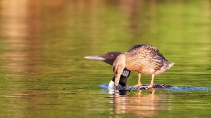 duckling rides the back of its loon parent