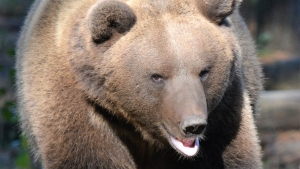 Clark the brown bear
