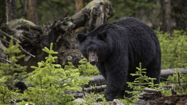 black bear, Yellowstone Park