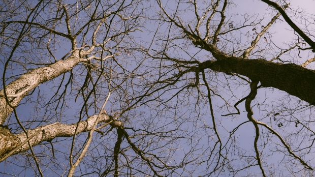 An sky-facing view  of bare tree branches against a blue, clear sky.