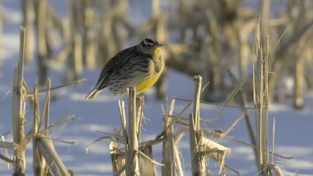 bird, field, corn, winter