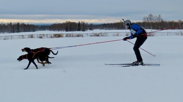 A skijoring team in Fairbanks, Alaska