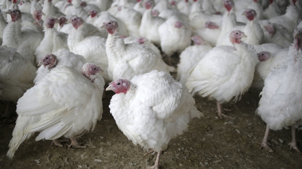 Turkeys at a farm before Thanksgiving