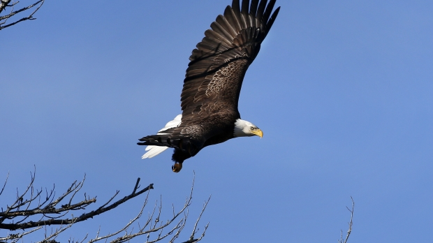 A bald eagle takes flight in Newcastle, Maine.