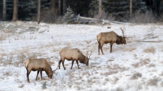 Elk bulls in late autumn Banff National Park Alberta, Canada