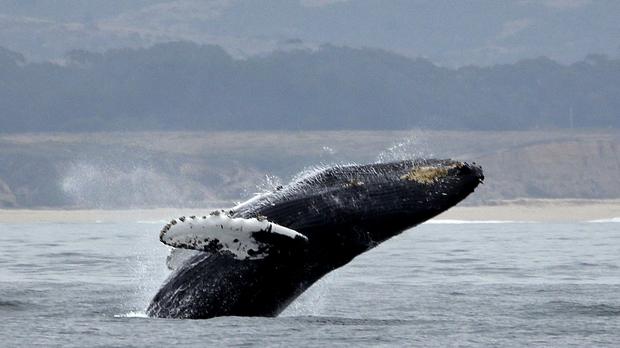 A humpback whale breeches off Half Moon Bay, Calif.