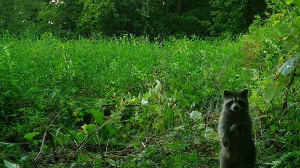 Raccoon captures by a Snapshot Wisconsin camera