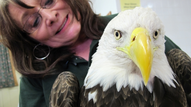 Marge Gibson holds a bald eagle that has West Nile disease