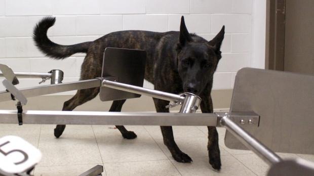 A dog smelling substances at Penn Vet