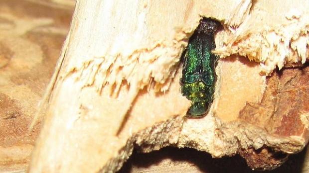 emerald ash borer in firewood
