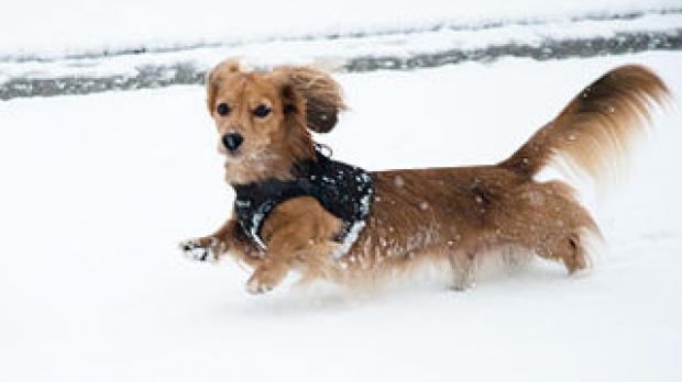 Dachshund in snow, image by Wikimedia Commons user Dan Bennett