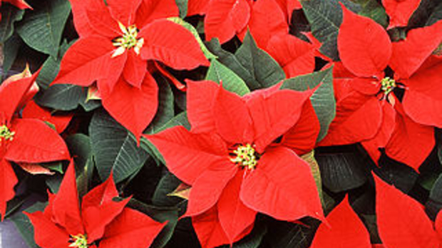 Poinsettias, image by the United States Department of Agriculture