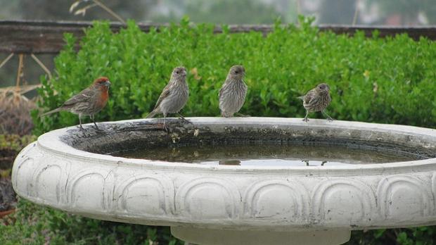 birdbath, image by Flickr user CAHairyBear