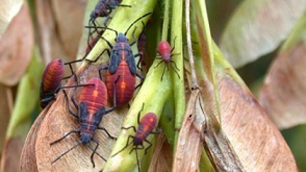 Boxelder bugs, photo courtesy of the UW Insect Diagnostic Lab