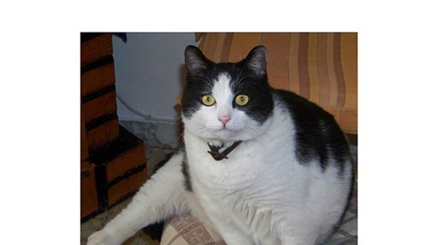 fat cat, image by Wikimedia Commons user Alfaveyron
