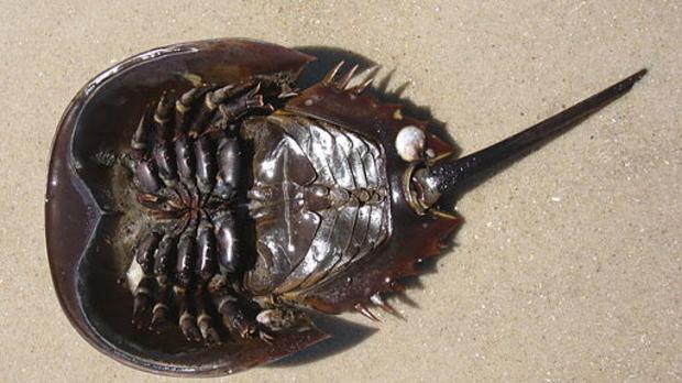 horseshoe crab, image by Wikimedia Commons user Adam Sofen