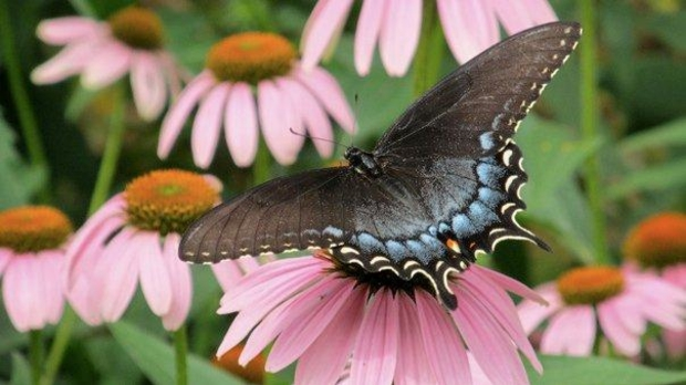 Black form female tiger swallowtail, photo by Judith Siers-Poisson