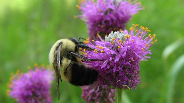 Purple prairie clover with bee