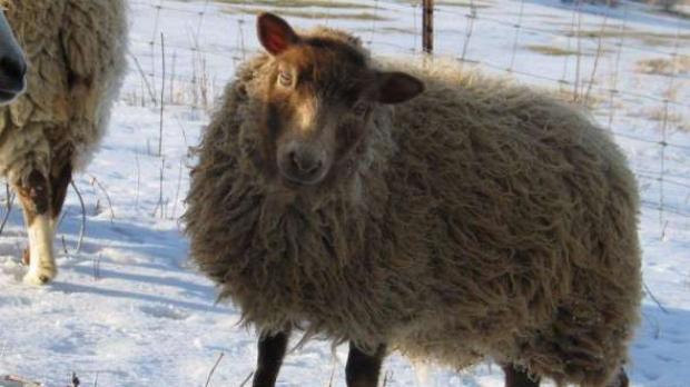 Peanut, a blind lamb