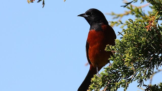 orchard oriole, cephas